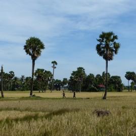 rizière parsemée de palmier
